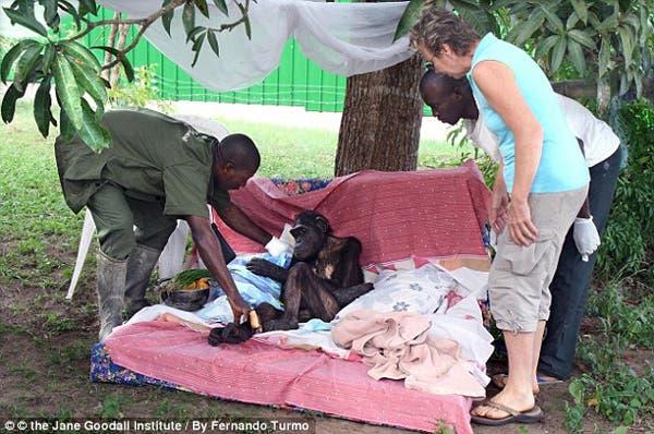 salvando un chimpancé14