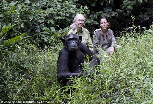 salvando un chimpancé15