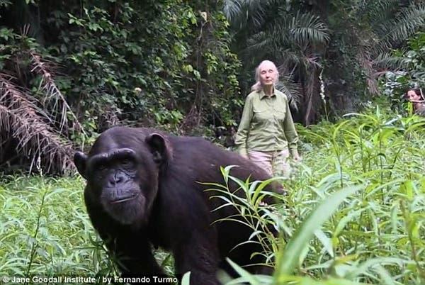 salvando un chimpancé2