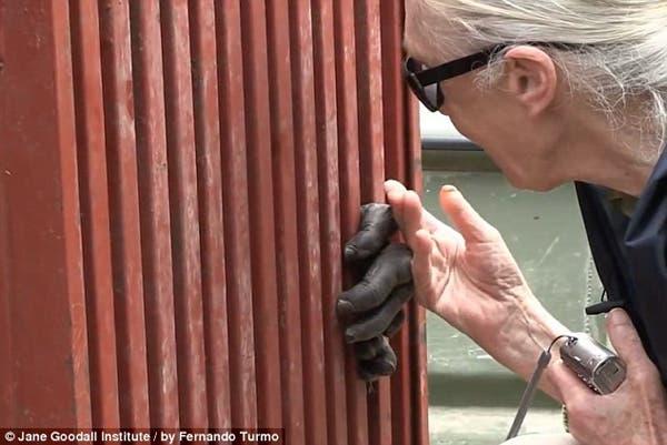 salvando un chimpancé3