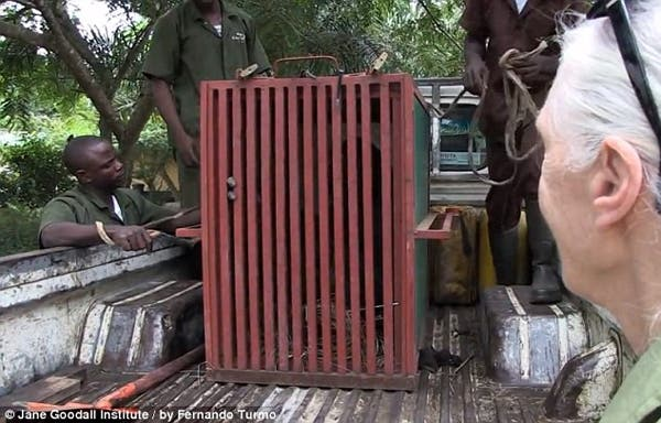 salvando un chimpancé4