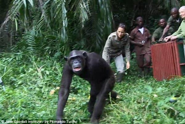salvando un chimpancé8