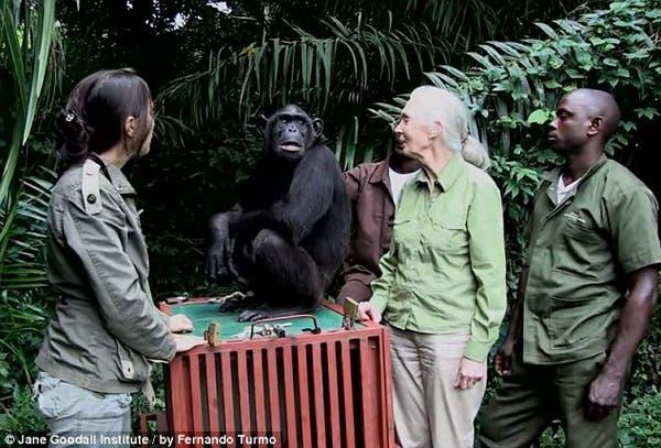 salvando un chimpancé9
