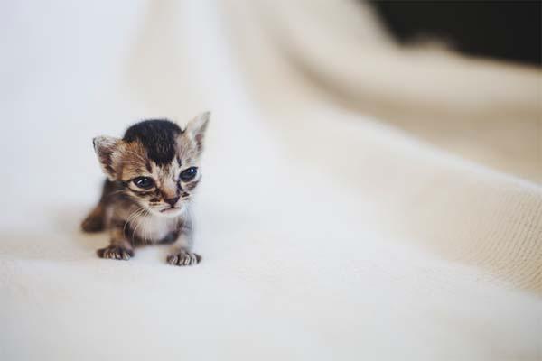 gatito miniatura