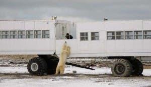 osos-polares11