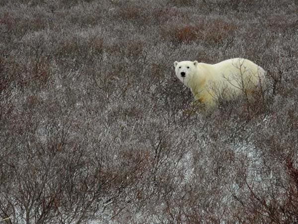 osos-polares12