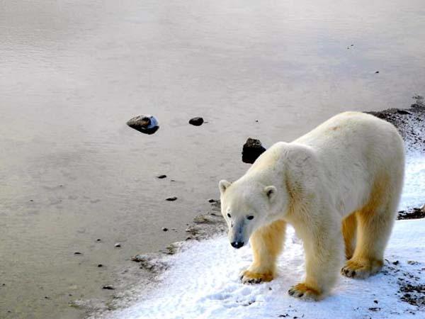 osos-polares13