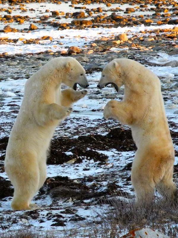 osos-polares19