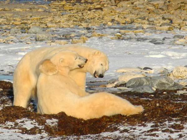 osos-polares20