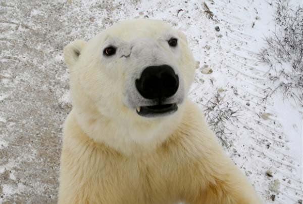 osos-polares3