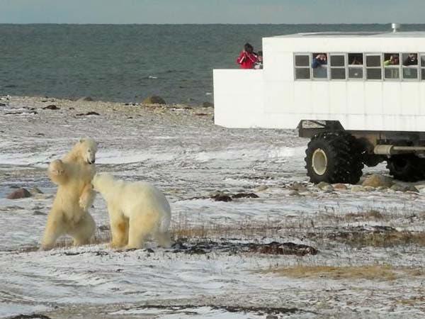 osos-polares7