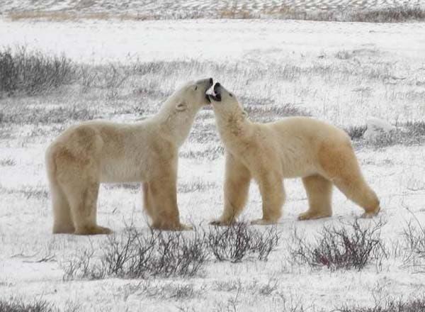 osos-polares8