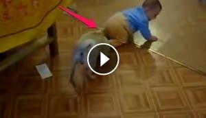 perro-que-arrastra-bebe