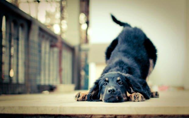 perros emociones15