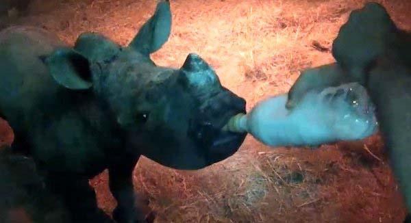 rinoceronte bebe3
