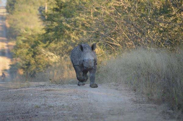 rinoceronte bebe4