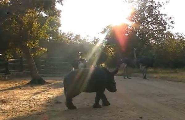 rinoceronte bebe5