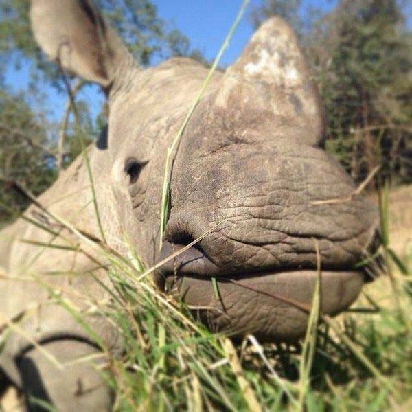 rinoceronte bebe8