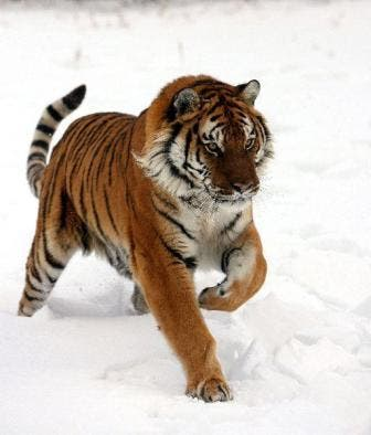 tigre8
