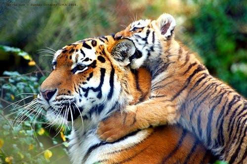 tigres9