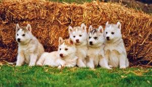 cachorros-husky-tiernos