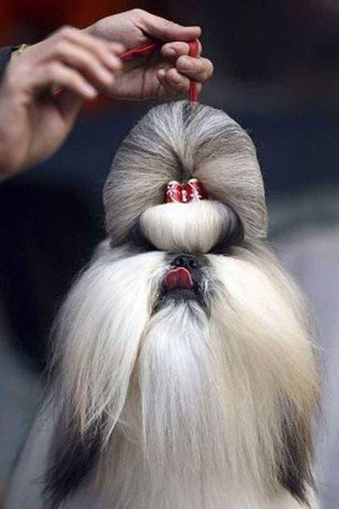 perros rapados11