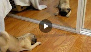 perro-frente-espejo-play