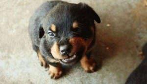 rottweiler-cachorro-grunido