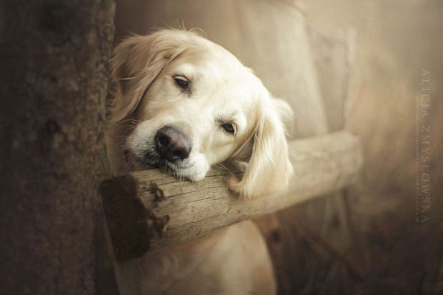 animals-dog-photography-alicja-zmyslowska-9
