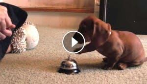 perro-salchicha-campanilla-play