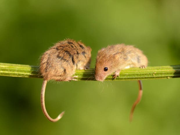 ratoncitos10