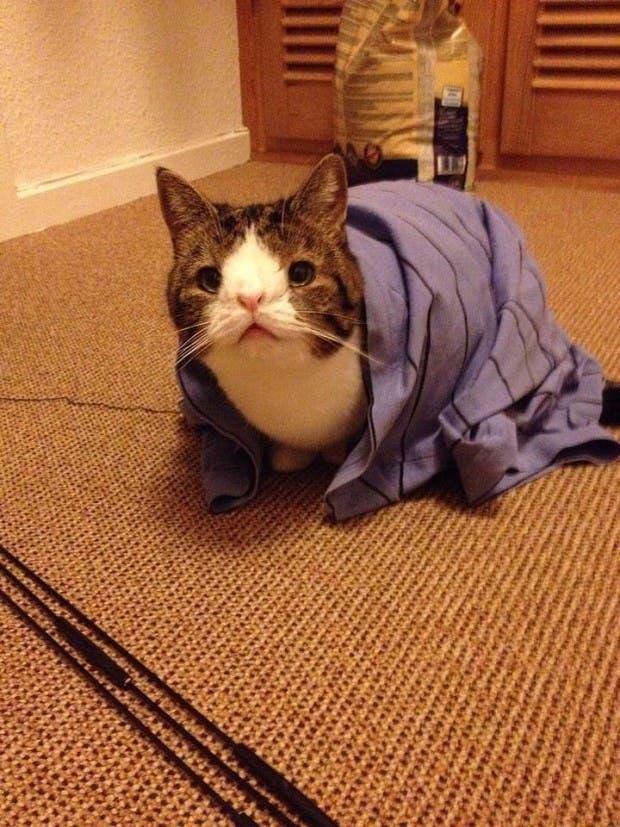 Monty-cat-without-nasal-bone