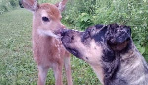So-my-friend-dogs-found-baby-deer