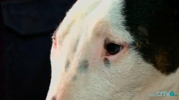 bull terrier coruña4