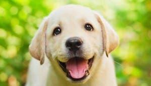 cachorro-labrador-feliz