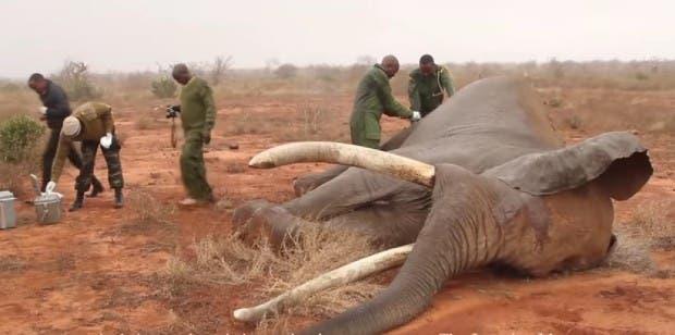 empezaron a operar al elefante rescatado