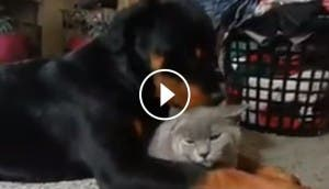 rottweiler-gato-amor