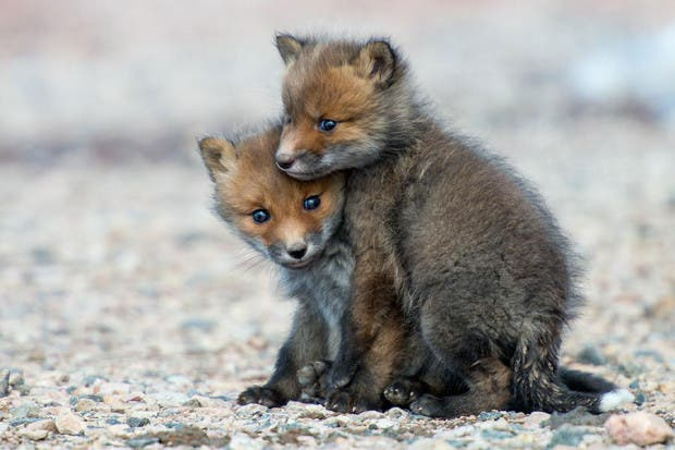 wild-foxes-photography-ivan-kislov-10