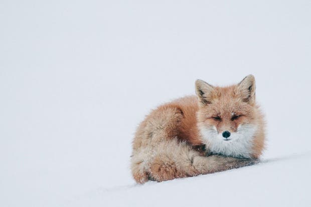 wild-foxes-photography-ivan-kislov-11