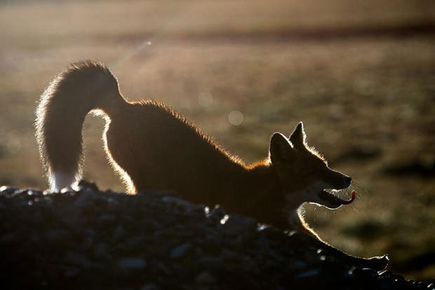 wild-foxes-photography-ivan-kislov-21