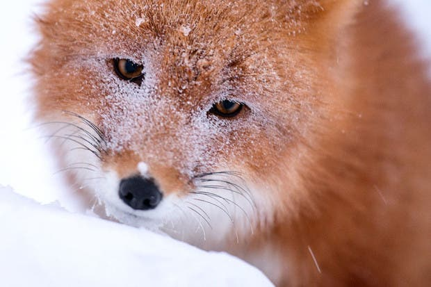 wild-foxes-photography-ivan-kislov-7