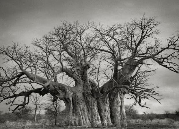 arboles antiguos (3)