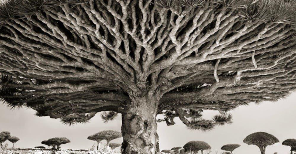 arboles antiguos (8)