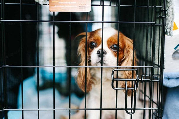cavalier-king-charles-cocker-spaniel-rescue-puppy-mill-auction-18