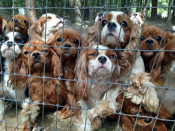 cavalier-king-charles-cocker-spaniel-rescue-puppy-mill-auction-21