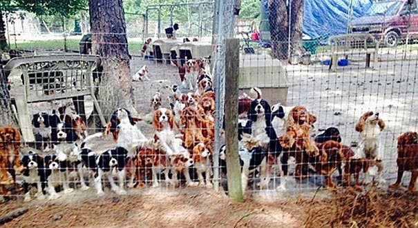 cavalier-king-charles-cocker-spaniel-rescue-puppy-mill-auction-24