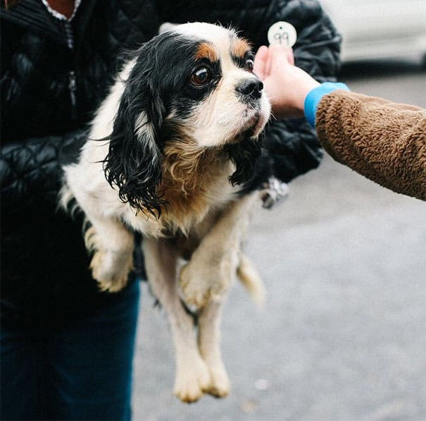 cavalier-king-charles-cocker-spaniel-rescue-puppy-mill-auction-26