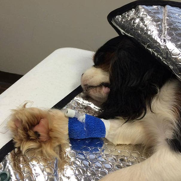 cavalier-king-charles-cocker-spaniel-rescue-puppy-mill-auction-5