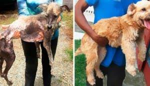 fotos-perros-cambio-radical-despues-de-ser-rescatados-