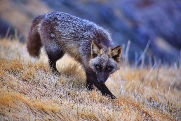 fox-species-photography-4-1